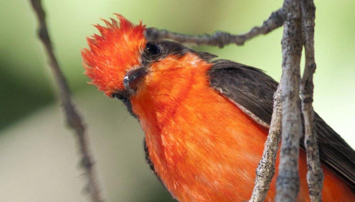 curious-vermilion-flycatcher
