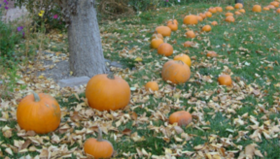 pumpkins in the park4